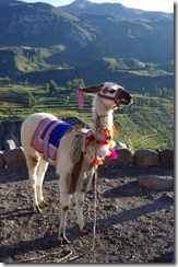 030416 Per Colca Tradition Alpaca